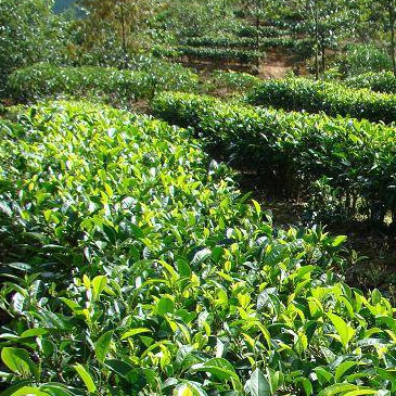 茶叶种植智能管理系统
