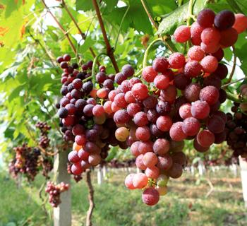 嘉兴葡萄园夏季大丰收