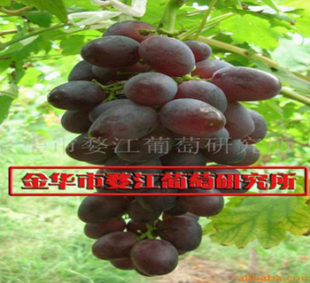浙江金华市婺江葡萄研究所