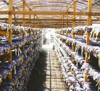 浙江丽水食用菌种植场